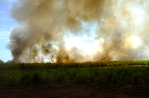 Burning sugarcane crop...